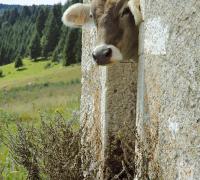 bruna_alpina_cansiglio.jpg