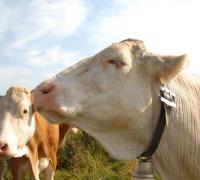 mucche_02.jpg
