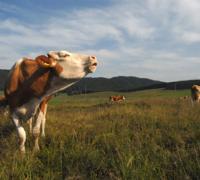 mucche_03.jpg