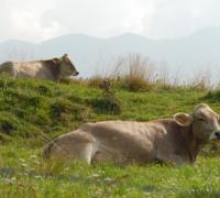 mucche_06.jpg